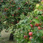 obuoliu_sodas_fragmentas